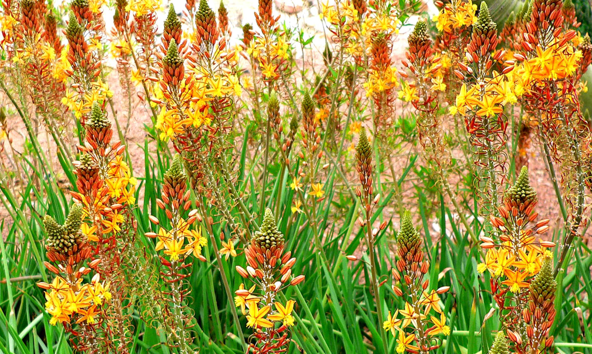 plante de rocaille - leaderplant