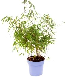 Conseils pour réussir la plantation des Bambous Fargesia
