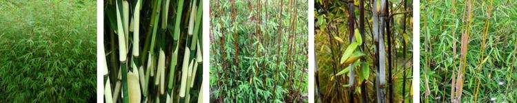 Bambou fargesias non traçants pour haie