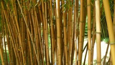 haie bambou phyllostachys aureocaulis bambou à cannes jaunes