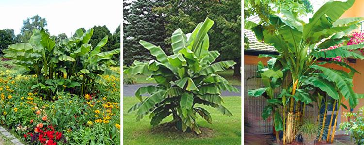 Présentation de bananiers