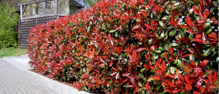 HAIE DE PHOTINIA