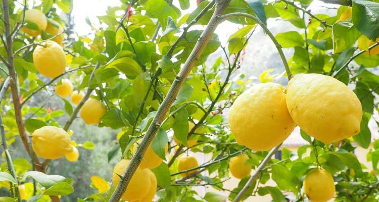 Arbre citronnier