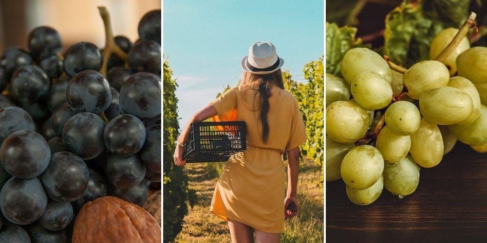 récolte raisins vigne