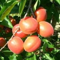 Abricotier nain Apricot Me - Fruit Me ®