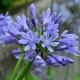 Agapanthe little dutch blue