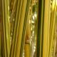 Bambou bambusa multiplex Alphonse Karr