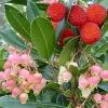 Arbousier rose
