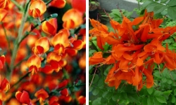 arbustes floraison oranges