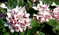 Arbustes à floraison parfumée