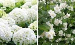 arbustes floraison blanche