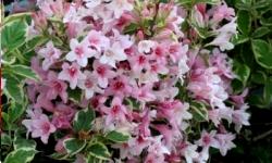 arbustes floraison rose