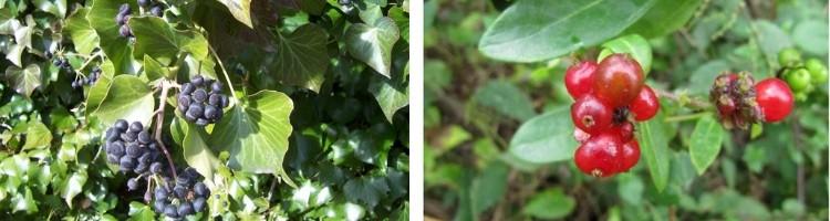 Arbustes à Fruits pour l'Hiver