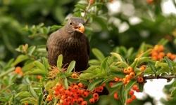 arbustes à fruits pour les oiseaux