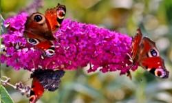 arbustes papillon