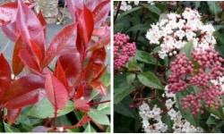 arbustes à feuillage persistant décoratif