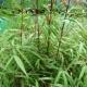 Bambou Fargesia Asian Wonder