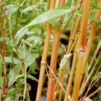 Bambou Phyllostachys Aureocaulis
