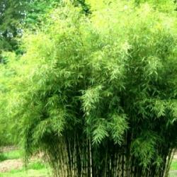 Bambou Fargesia angustissima