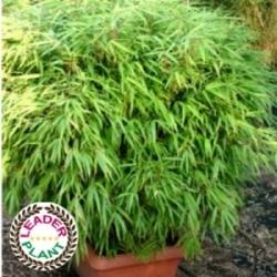 bambou Fargesia Rufa