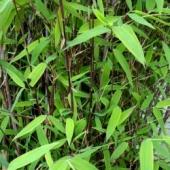 Bambou Fargesia Trifina Black tiges noires