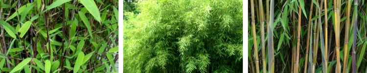 Bambous Fargesias de 3m à 4m