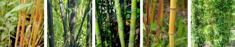 Bambou Phyllostachys traçant pour haie