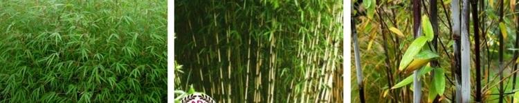 Bambous Fargesias cespiteux non traçants