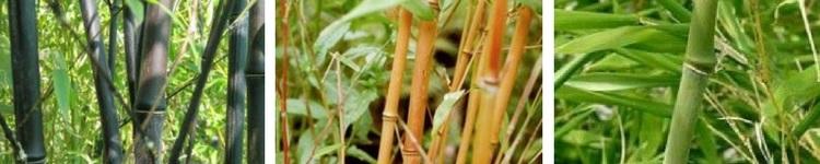 Bambous traçants Phyllostachys