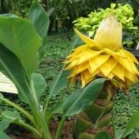 Bananier nain - Musella lasiocarpa