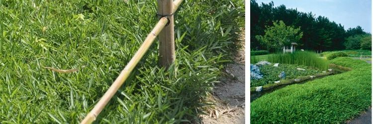 Bambous couvre-sols