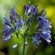 Agapanthe 'Blue Triomphator'