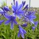 Agapanthe 'Brilliant Blue'