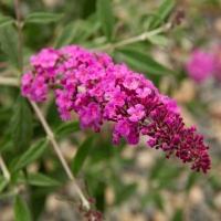 Arbre à papillons nain 'Dark Pink'