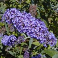 Arbre à papillons 'Nanho Blue'