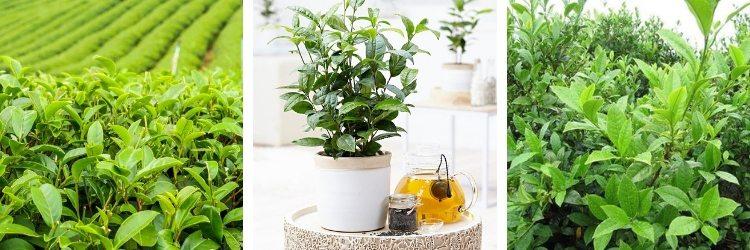 Camellia sinensis - Théier