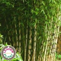 Bambou fargesia 'Campbell'