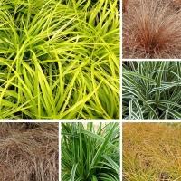 Graminées Carex
