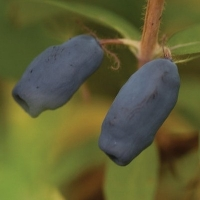 Chèvrefeuille comestible 'Dolce Vita'