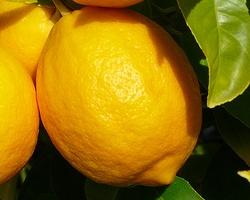 un zeste de connaissances sur le citronnier 4 saisons conseils fruitiers leaderplant. Black Bedroom Furniture Sets. Home Design Ideas