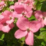 Cornus à fleurs roses 'Satomi'