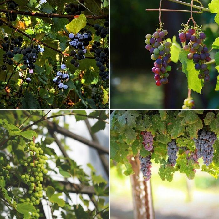vigne jardin fruit raisin