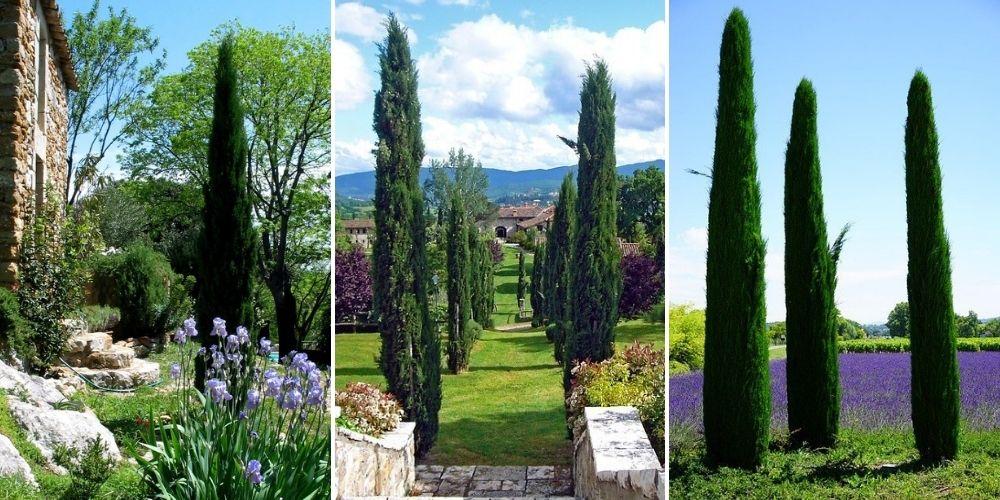 cyprès provence italie jardin utilisation