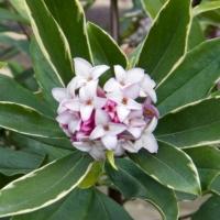 Daphné parfumé panaché - Daphne odora aureovariegata