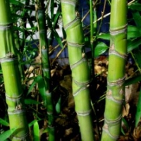 Bambou Phyllostachys doré