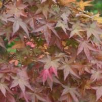 Érable du Japon 'Deshojo'