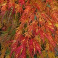 Érable du Japon 'Seiryu'