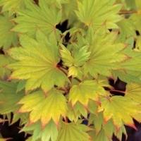 Érable du Japon 'Shirasawanum Aureum'