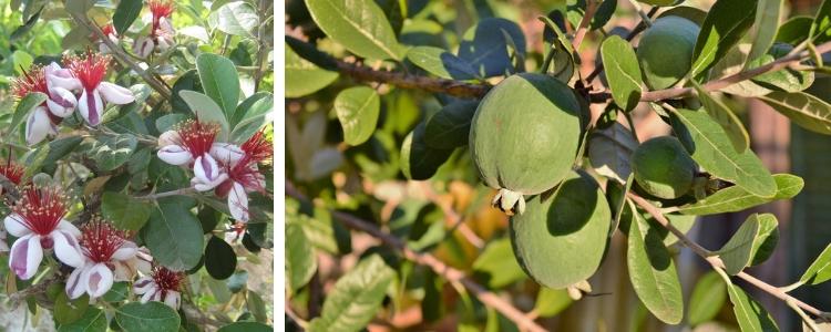 Goyave Ananas