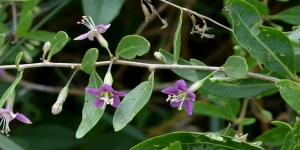 Fleur du Goji